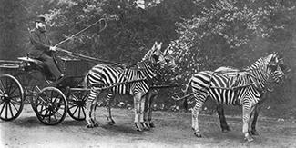 Wiener Museum Rothschild Zebra